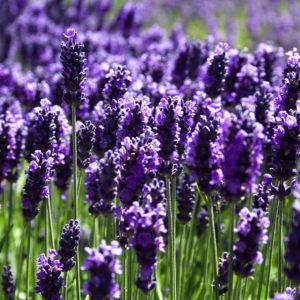 lavender-field-david-patterson